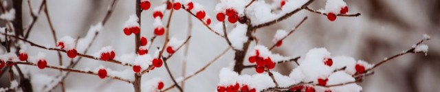 cropped-sw_amarpreetkaur_holly-berries-on-snow.jpg